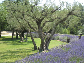 Ancient olive trees and vibrant lavender