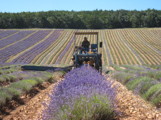Lavender havesting in Provence
