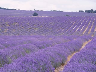 Glorious fields of lavender in Provence and wonderful off the beaten path experiences