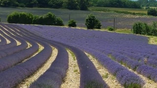 The fragrant, sweeping lavender fields during our Provence tours
