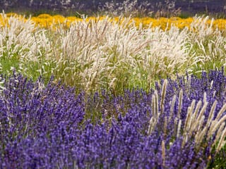 Glorious fields of lavender, wheat and broom during our Provence tours