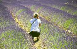 photos in fields of lavender