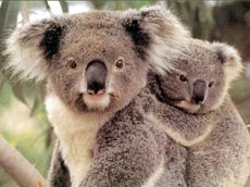 The cutest Australians - Koala