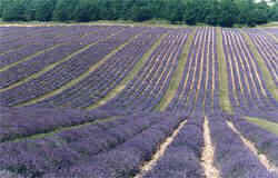 photo from the world's largest true French lavender farm