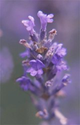 lavender flowering head