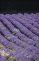 purple rows of aromatic population lavender