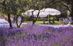 Lavender and umbrellas