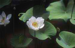 The serene beauty of a lotus pond